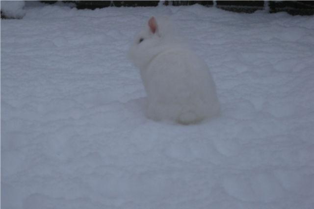Kaninchen im Schnee 4