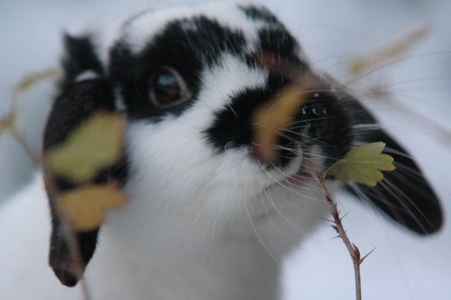 Kaninchen im Schnee 5