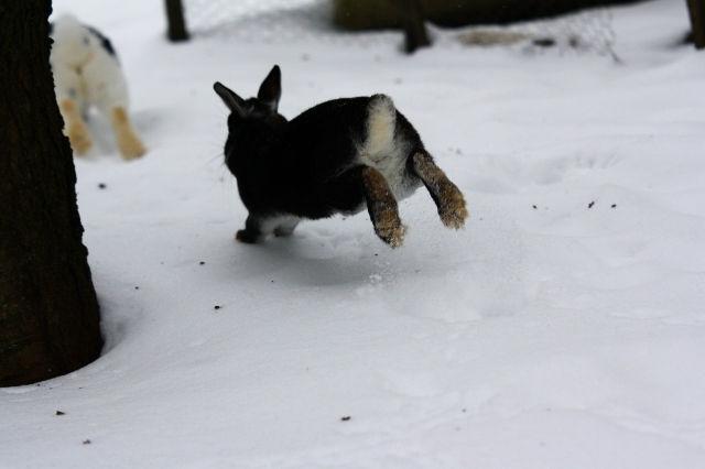 Kaninchen im Schnee 6