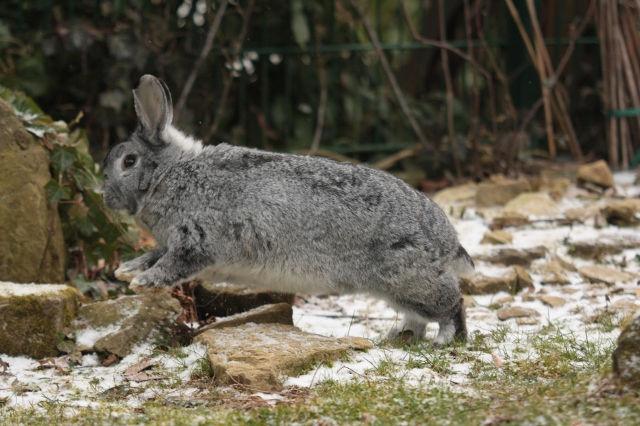 Kaninchen im Schnee 7