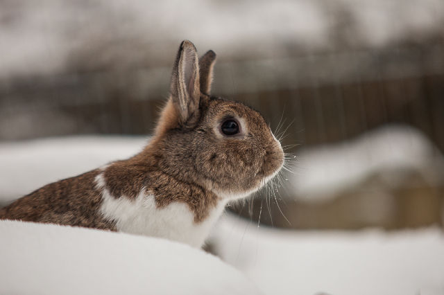 Kaninchen im Schnee 8