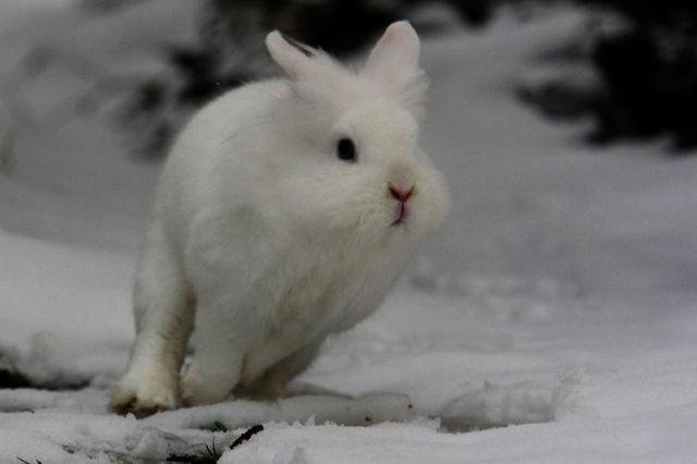 Kaninchen im Schnee 9