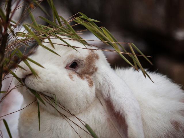 Kaninchen knabbert