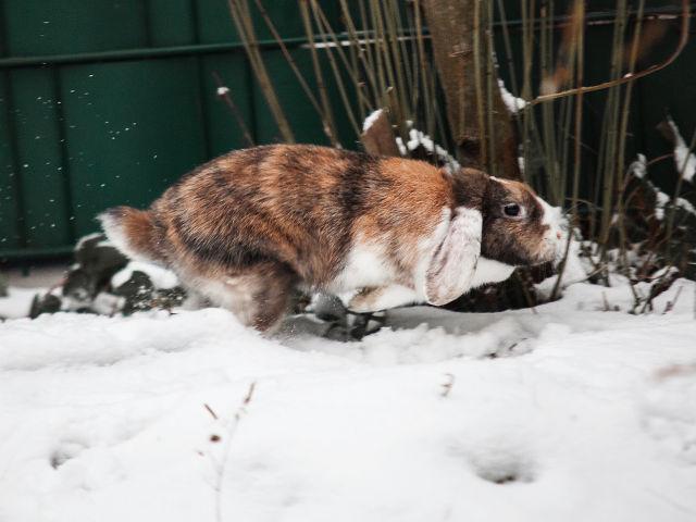 Kaninchen läuft im Schnee