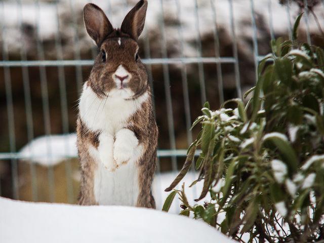 Kaninchen macht Männchen im Schnee