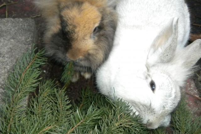 Kaninchen mit Tanne