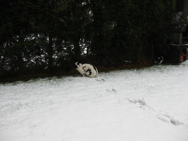 Kaninchen schwarz-weiß gescheckt im Schnee