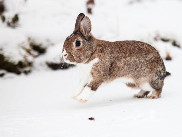 Kaninchen spring im Schnee
