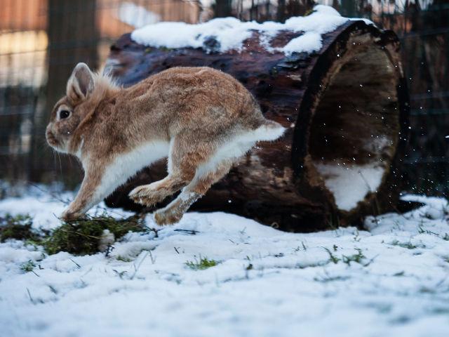 Kaninchen springt im Schnee