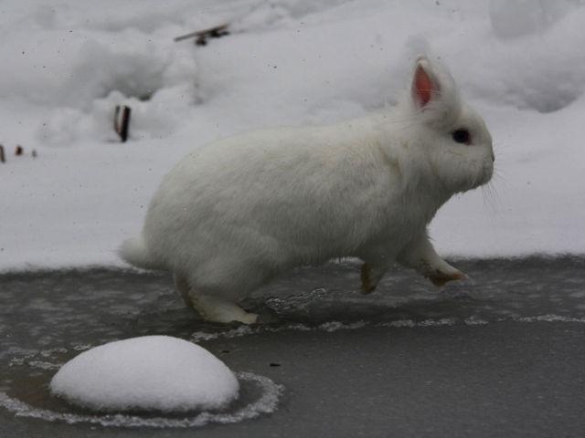 Kaninchen weiß im Schnee 2