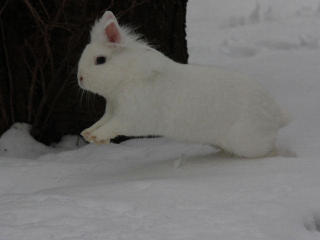 Kaninchen weiß im Schnee 3