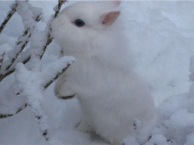 Kaninchen weiß im Schnee 5