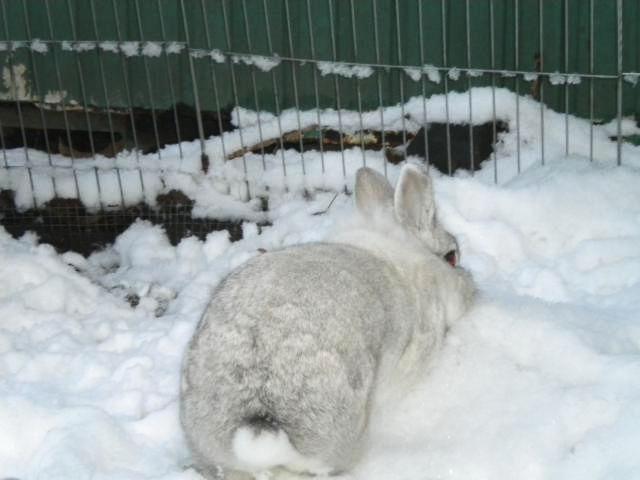 Kaninchen weiß im Schnee 6