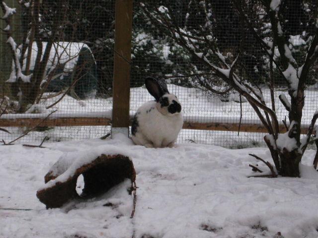 Kaninchen weiß im Schnee