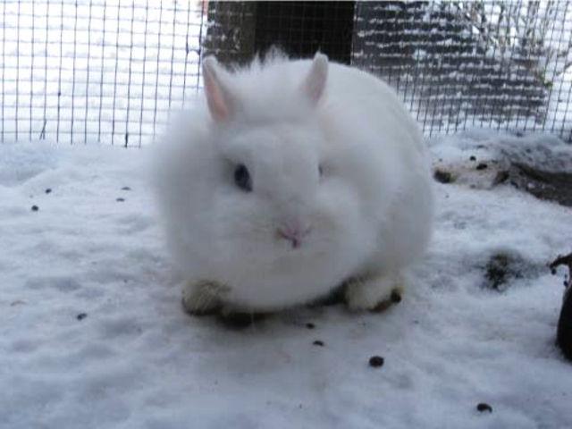 Kaninchen weiß in Schnee