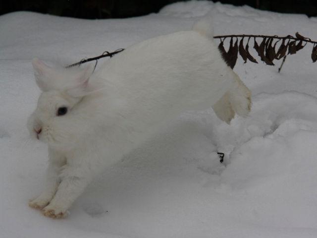 Kaninchen weiß springt im Schnee