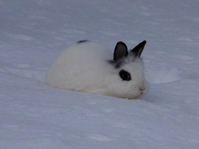 Kaninchen weißt im Schnee 3