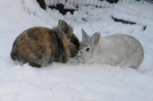Kaninchenpaar im Schnee 2