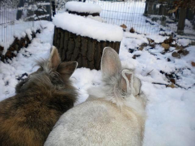 Kaninchenpaar im Schnee 4
