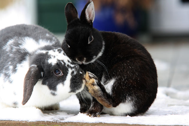 Kaninchenpaar im Schnee
