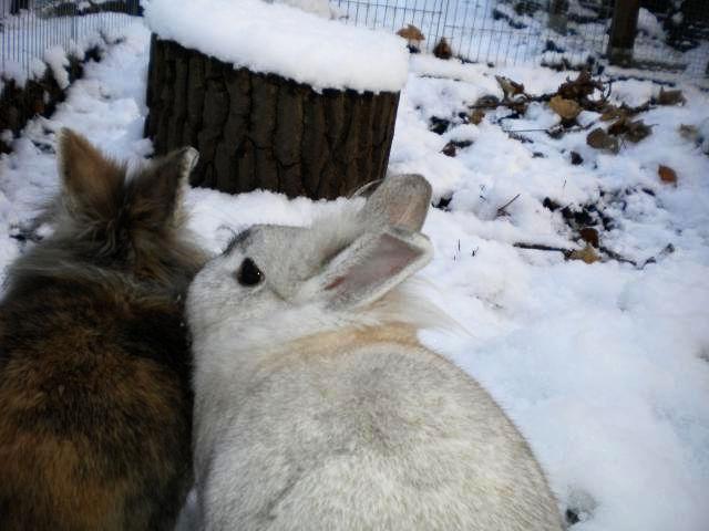 Kaninchenpaar im Schnee2