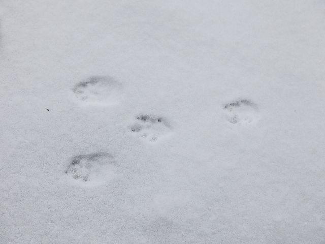 Kaninchenspuren im Schnee