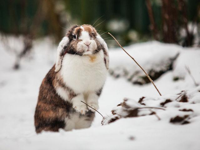Widder-Kaninchen braun-weiß stehend im Schnee