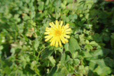 Habichtskraut (gelb)