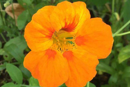 Kapuzinerkresseblüte
