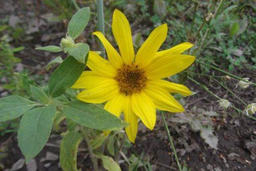 Sonnenblume (jung)