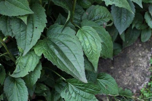 Sonnenhut Rudbeckia (Blätter)
